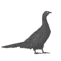 PheasantTHUMB